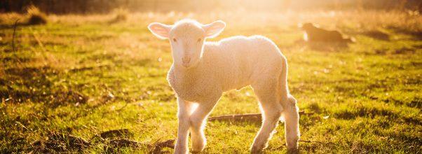 Ett litet lamm